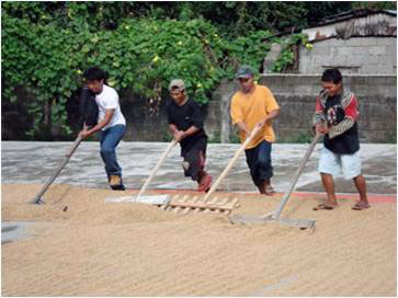 Local jobs drying palay (unhusked rice)
